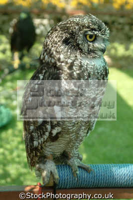 owl birds aves animals animalia natural history nature misc. yorkshire england english angleterre inghilterra inglaterra united kingdom british