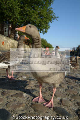 goose birds aves animals animalia natural history nature misc. york yorkshire england english great britain united kingdom british