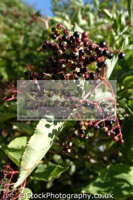 edible elderberries plants plantae natural history nature misc. dorset england english great britain united kingdom british