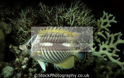 chevroned butterflyfish chaetodon trifascialis night time coloration sanganeb reef sudan red sea. indian ocean fish pisces marine life underwater diving africa sudanese