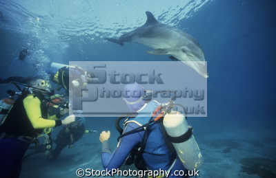 bottlenose dolphin tursiops truncatus reef eilat gulf aqaba israel red sea indian ocean. divers background dolphins flippers marine life underwater diving jewish middle east israeli