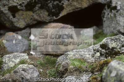 rock hyrax procavia capensis mount kenya africa. resemble rodents feet hoof-like hoof like hooflike toe animals animalia natural history nature misc. africa kenyan