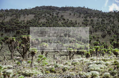 giant groundsels senecio species teleki valley mount kenya east africa. 962 metres 13 000 feet wilderness natural history nature misc. africa kenyan