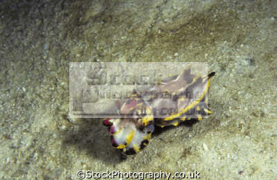 flamboyant cuttlefish metasepia pfefferi pulau kapalai ligitan reefs celebes sea sabah borneo. maximum 10cm tentacles free swimming marine life underwater diving pacific ocean asia malaysia malaysian