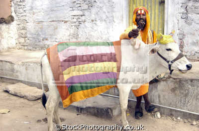 sadhu legged cow jodphur india. indian temples religion religious worship asian travel freak genetic mutation holy india asia
