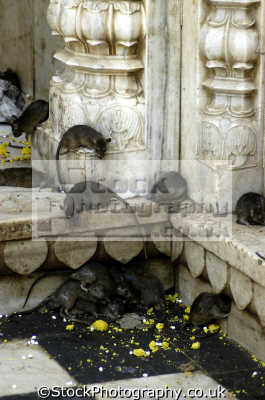 karni mata hindu temple rajastan. 20 000 holy rats called kabbas live indian temples religion religious worship asian travel rodents india asia