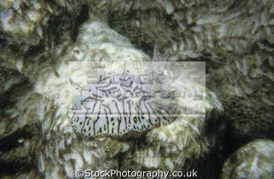 halgerda willeyi eliot 1904 nudibranchs. sanganeb reef sudan red sea indian ocean africa nudibranchia worm like marine life underwater diving doridina dorididae sudanese
