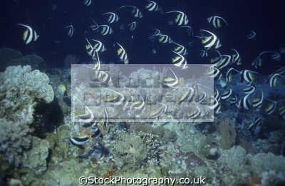 shoal pennant coralfish heniochus diphreutes basterra reef sulu sea philippines aka butterflyfish schooling bannerfish false moorish idol fish pisces marine life underwater diving malaysia asia philippino