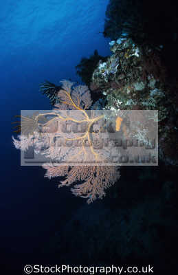 gorgonian sea fan wall acabaria species feather star feeding right. fans angles current tampuan point general santos mindanao island philippines pacific ocean coral corals attached marine life underwater diving malaysia asia philippino