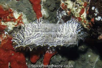 halgerda willeyi eliot 1904 nudibranchs. sanganeb reef sudan red sea indian ocean africa. nudibranchia worm like marine life underwater diving doridina dorididae chromodorididae. africa sudanese