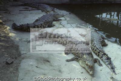sandakan ayer keroh crocodile farm sabah licensed breeder. crocodiles mainly estuarine crocodylus porosus known locally buaya tembaga. borneo malaysia animals animalia natural history nature misc. crocs asia maldives maldivian