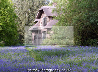 bluebells kew gardens london. botanical botany london parks capital england english uk queens cottage queen thatched bulb spring richmond cockney great britain united kingdom british