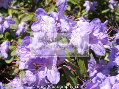 rhododendron flowers kew gardens london. plants plantae natural history nature misc. bloom blossom stamen pollen richmond london cockney england english great britain united kingdom british