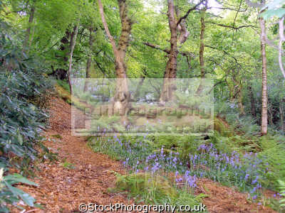 woodland path bluebells. countryside rural environmental uk dimmingsdale staffordshire moorlands churnett valley oakamoor staffs england english great britain united kingdom british