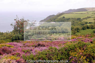 exmoor coastline devon. taken martinhoe looking lynton. moorland countryside rural environmental uk heather gorse bracken woody bay slattenslade devon devonian england english great britain united kingdom british