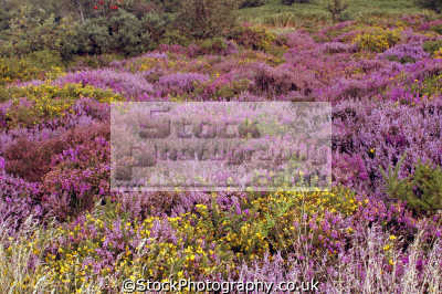 various hues heather. taken exmoor devon september 2006. moorland countryside rural environmental uk gorse bracken devonian england english great britain united kingdom british