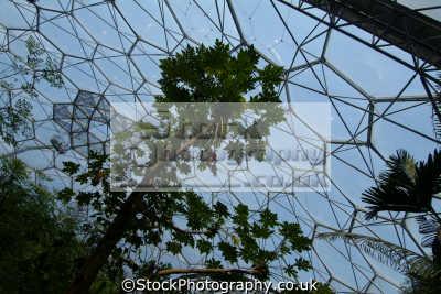 trees inside tropical biome eden project cornwall tourist attractions england english uk cornish great britain united kingdom british
