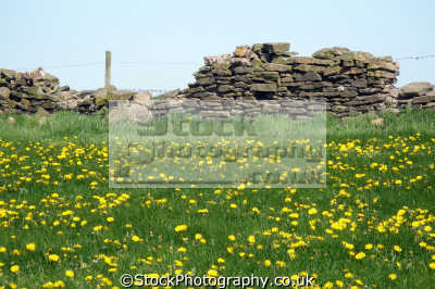 staffordshire dry stone wall moorland countryside rural environmental uk dandelions wild flowers hedgerow churnet valley churnett river steam railways train staffs england english great britain united kingdom british