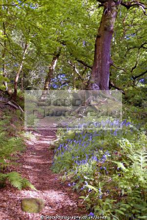 dimmingsdale staffordshire moorlands moorland countryside rural environmental uk springtime trees bluebells churnet valley churnett river embankment staffs england english great britain united kingdom british
