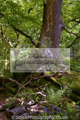 dimmingsdale staffordshire moorland countryside rural environmental uk springtime trees bluebells churnet valley churnett river root moss staffs england english great britain united kingdom british