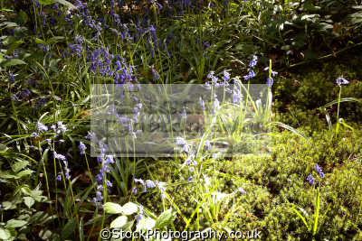 dimmingsdale moorlands. moorland countryside rural environmental uk springtime trees bluebells churnet valley churnett river moss sphagnum staffordshire staffs england english great britain united kingdom british
