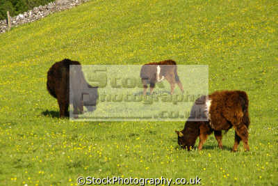 banded galloway cattle farm staffordshire agriculture farming natural history nature misc. peak district wildflowers dry stone wall grazing staffs england english great britain united kingdom british