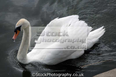 white swan river trent birds aves animals animalia natural history nature misc. united kingdom british