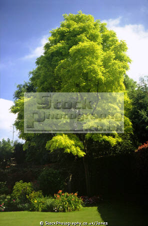 acacia tree weobley herefordshire. trees wooden natural history nature misc. robinia psuedoacacia herefordshire england english great britain united kingdom british