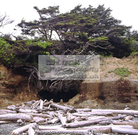 tenacious tree shores ruby beach washington state usa wilderness natural history nature misc. humorous humourous humour olympic national park np driftwood dying eroded undercut united states america american