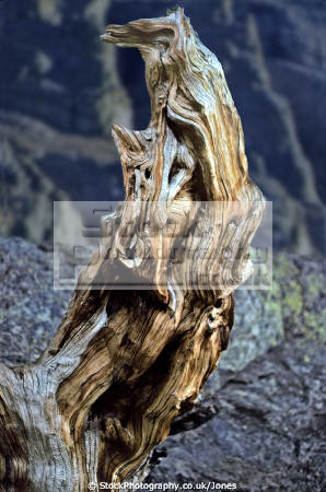 dead tree stump spotted colorado rocky mountain national park wilderness natural history nature misc. usa twisted gnarled desiccated rotten wood weathered united states america american