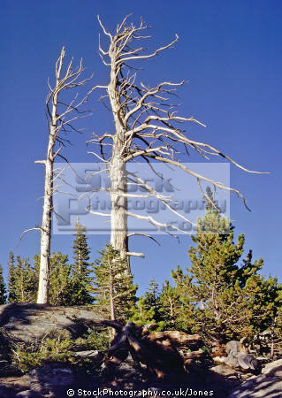 aging sentinals. dead trees prevailing wind direction. spotted rocky mountain national park usa wilderness natural history nature misc. scots lodgepole pine lonesome pointing colorado united states america american
