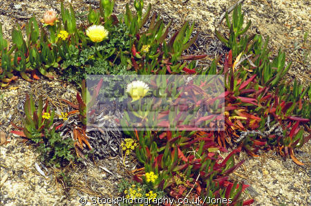 ice plant monterey peninsula california plants plantae natural history nature misc. flowers succulent desert arid san francisco franciscan californian usa united states america american