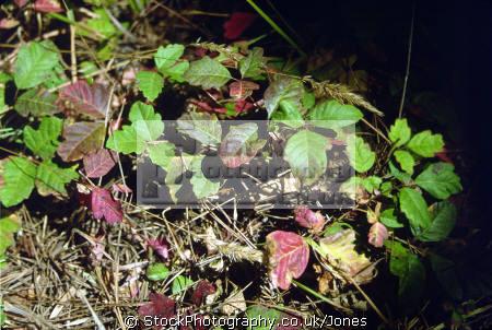 poison oak rhus diversiloba california. california american yankee travel autumn fall colours colors toxic itching scratching rash blisters californian usa united states america