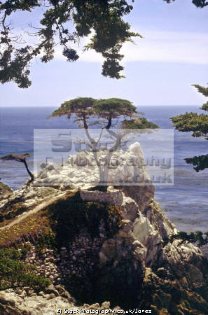 lone cypress monterey peninsula. california american yankee travel pebble beach 17 mile drive carmel golf lonesome tree pacific point californian usa united states america