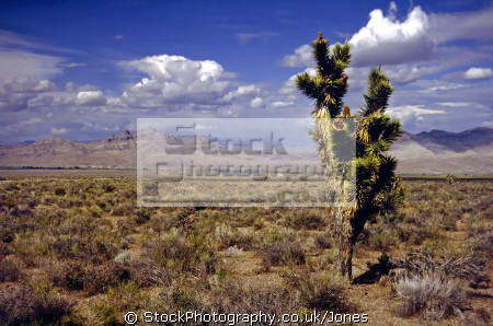 lone joshua tree nevada desert near area 51. wilderness natural history nature misc. ufo extra-terrestrial extra terrestrial extraterrestrial alien black-ops black ops blackops groom lake rachel usa united states america american