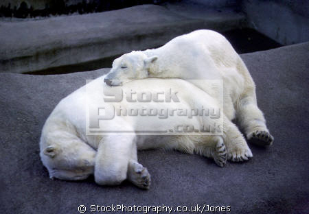 relaxed looking polar bears spotted london regents park zoo. animals animalia natural history nature misc. humorous humourous humour friendly cuddling ursus maritimus arctic sea ice flow berg westminster cockney england english great britain united kingdom british