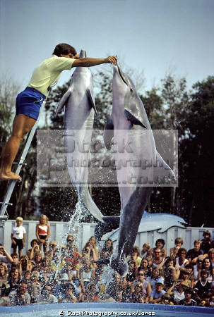 performing dolphins minneapolis valley fair. animals animalia natural history nature misc. porpoise mammal water clever acrobatic hoop minnesota usa united states america american