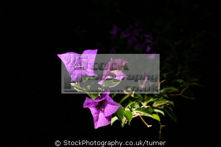 bright purple flowers taken late night light painting plants plantae natural history nature misc. art abstract colour color south africa afrikaans african