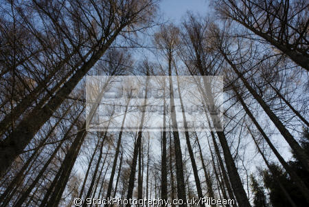tall dark pine trees looking blue sky wooden natural history nature misc. wood woodland lakes copse cumbria cumbrian england english great britain united kingdom british