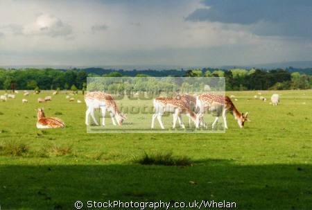 deer tatton park animals animalia natural history nature misc. cheshire england english great britain united kingdom british