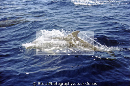 bottlenose dolphin swimming alongside boat greek islands dolphins tursiops flippers marine life underwater diving mammalian porpoise aegean cyclades greece europe european