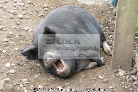 happy pig muck farmyard animals animalia natural history nature misc. laughing mouth farm boar staffordshire staffs england english great britain united kingdom british