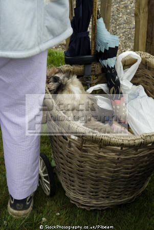 dog shopping basket old lady elderly aged senior men adult males masculine manlike manly manful virile mannish people persons trolley shop sleeping isle man manx england english great britain united kingdom british