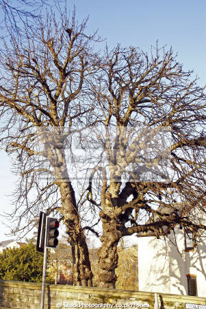 gnarled old trees near avon bridge evesham uk towns environmental arboreal trunk branches horse chestnut conker worcestershire england english great britain united kingdom british