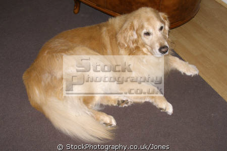 fourteen year old golden retriever dogs canidae canine animals animalia natural history nature misc. dog breed pedigree lincolnshire lincs england english great britain united kingdom british