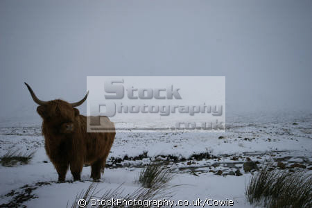 highland cow rannock moor.scotland moor scotland moorscotland animals animalia natural history nature misc. higland highlands islands scotland scottish scotch scots escocia schottland great britain united kingdom british