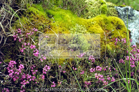 isle skye clump mosses marshy ground cuillin hills plants plantae natural history nature misc. sphagnum heather scottish scotland boggy eilean sgitheanach highlands islands scotch scots escocia schottland great britain united kingdom british