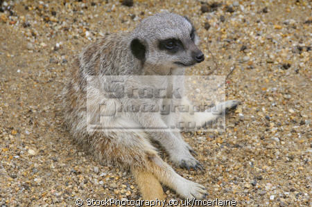 meerkat flamingo park isle wight uk. animals animalia natural history nature misc. animal captivity zoo funny england english great britain united kingdom british