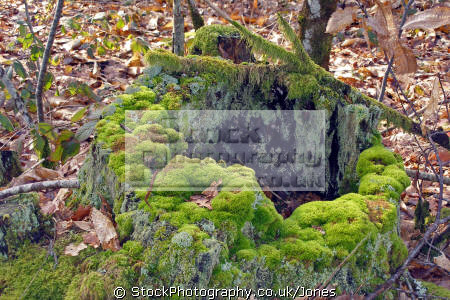 moss covered tree stump limousin france trees wooden natural history nature misc. decaying rotten oak woodland forest floor correze la francia frankreich europe european french