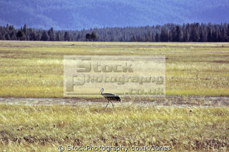 sandhill crane yellowstone national park. birds aves animals animalia natural history nature misc. grus canadensis bird ornithology wading water np wyoming usa united states america american